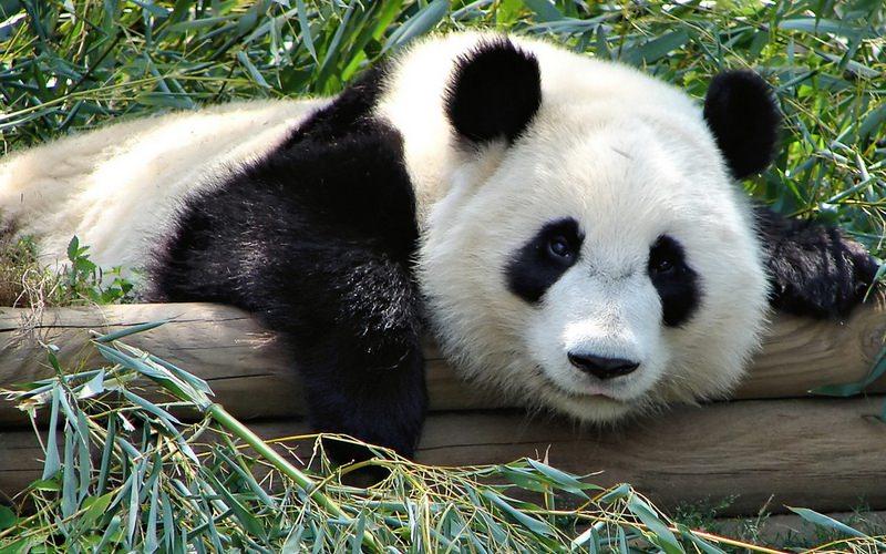 """Dlaczego nazywamy się """"Panda""""?"""